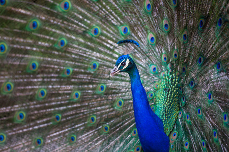 pavo cristatus: Splendid peacock with feathers out (Pavo cristatus) (shallow DOF; color toned image)