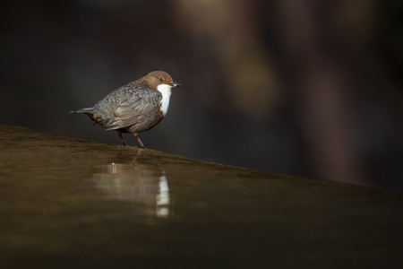 Cinclus cinclus, white-throated dipper in his natural habitat, small river/creek Imagens - 80899075