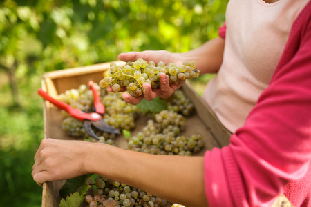 흰색 덩굴 포도 수확 여성 vintner 손에 (톤 색상 이미지)