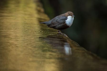 Cinclus cinclus, white-throated dipper in his natural habitat, small rivercreek 版權商用圖片