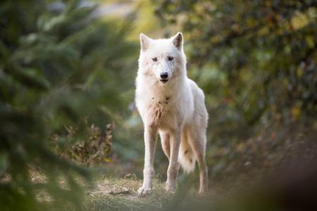 カメラを見て北極オオカミ