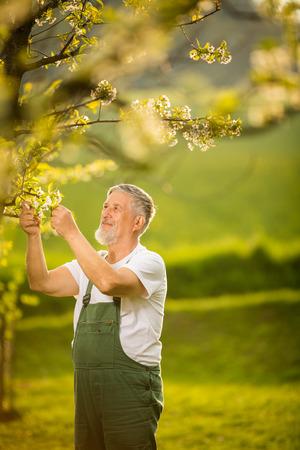 Portrait d'un jardinier senior, s'occupe de son joli verger, exerçant activement sa retraite