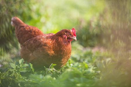 Gros plan d'une poule dans une cour de ferme (Gallus gallus domesticus)