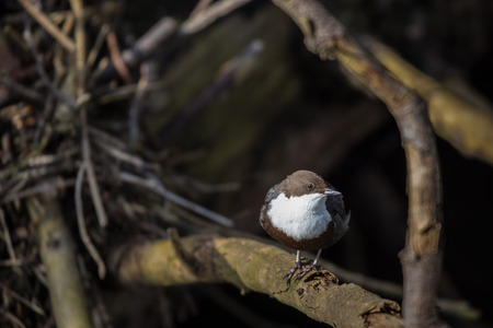 Cinclus cinclus, white-throated dipper in his natural habitat, small rivercreek Lizenzfreie Bilder