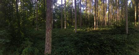 Panorama d'une forêt de conifères dans la chaude lumière de fin de soirée avec le soleil couchant Banque d'images