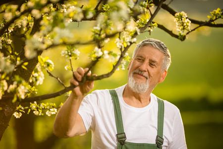 Portrait d'un jardinier senior, s'occuper de son joli verger, jouir activement de sa retraite