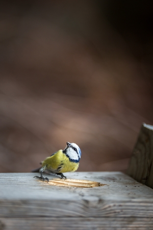 Blue tit Parus caeruleus on a bird house it inhabits - feeding the young. Shallow depth of field and background blurred Standard-Bild