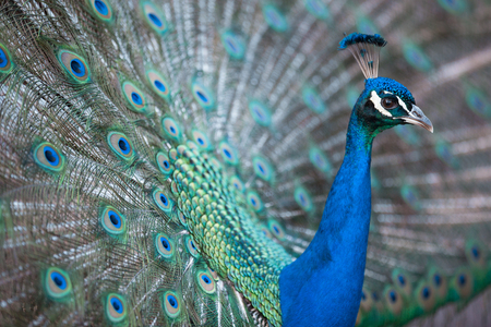 Splendid peacock with feathers out (Pavo cristatus) (shallow DOF; color toned image) Banco de Imagens - 92852274