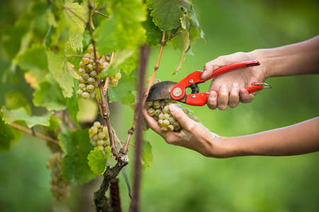 Hands of a female vintner harvesting white vine grapes (color toned image) Stock Photo