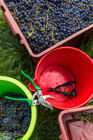 Freshly harvested red grapes in a pannier (color toned image)