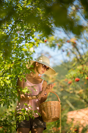 Young woman up on a ladder picking plums from a plum tree on a lovely sunny summer day Stock Photo