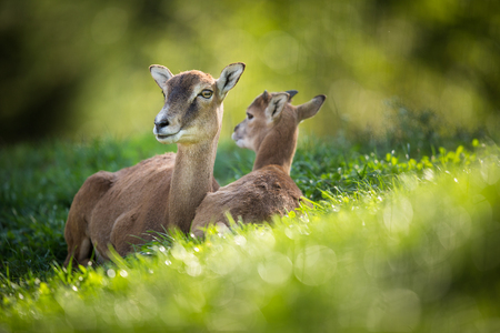 European mouflon (Ovis orientalis musimon) female with a youngster resting in green grass Stock Photo