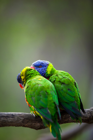 A pair of Rainbow Lorikeets fightingplayingteasing each other on a tree branch (Trichoglossus haematodus)