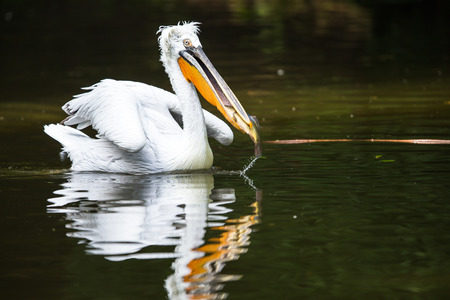 Great white pelican also known as the eastern white pelican, rosy pelican or white pelican. Фото со стока - 99623986