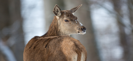 Bull Elk 版權商用圖片