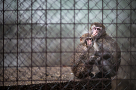 Sad monkeys behind bars in captivity Imagens