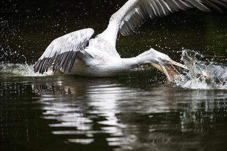 Great white pelican also known as the eastern white pelican, rosy pelican or white pelican.