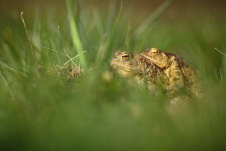 Closeup of two frogs in the mating season