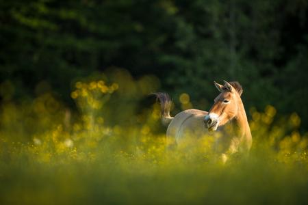 사랑스러운 풀밭에 방목하는 Przewalski 말