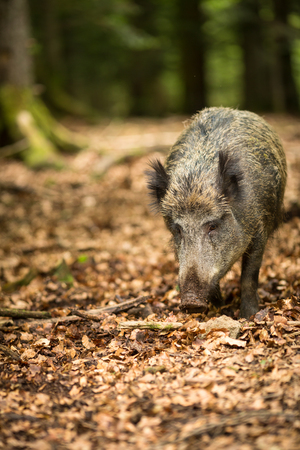 Wild boar (Sus scrofa) Standard-Bild - 101802992
