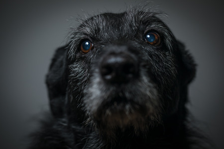 Portrait of a black dog against a black backdrop in a studio
