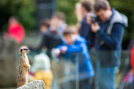Meerkat Suricate sitting on rock in the zoo 写真素材 - 106556556