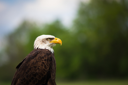 Portrait of a proud majestic American Bald Eagle