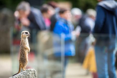 Meerkat Suricate sitting on rock in the zoo 写真素材 - 106556947
