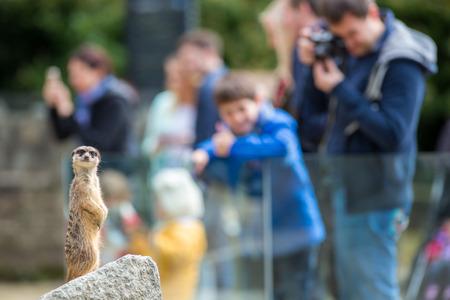 Suricata Suricate sentado sobre una roca en el zoológico
