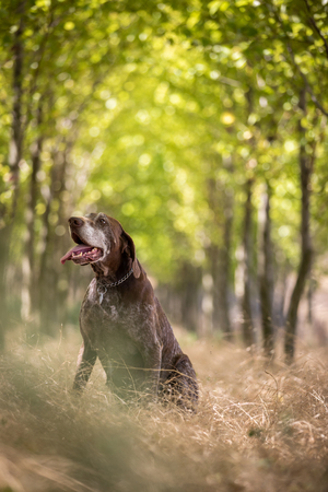 Hunting dog - Outdoor sports. Hunters dog in the woods Stockfoto