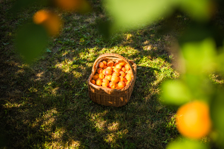 Apricot tree with fruits growing in the garden Stock Photo