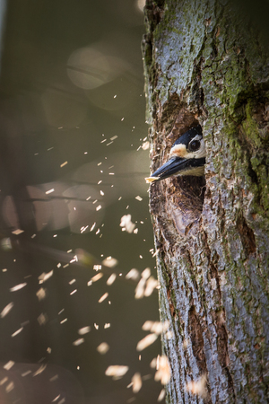 Great spotted woodpecker (Dendrocopos major) making rrom for the family in his new cavity