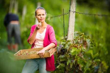 Hands of a female vintner harvesting white vine grapes (color toned image) Stock Photo