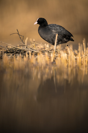 The Eurasian coot, Fulica atra, also known as coot is a member of the rail and crake bird family, the Rallidae.
