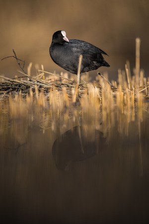 The Eurasian coot, Fulica atra, also known as coot is a member of the rail and crake bird family, the Rallidae. Stock Photo - 107681647