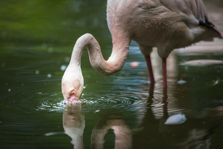Pink Flamingo feeding in water - filtering water with its beak