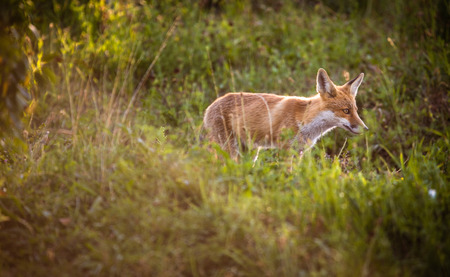 Red fox in its natural habitat - wildlife shot