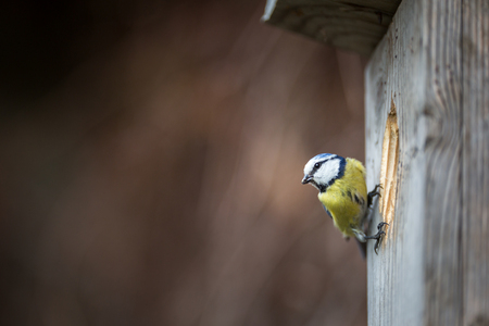 Blue tit Parus caeruleus on a bird house it inhabits - feeding the young. Shallow depth of field and background blurred Stock fotó