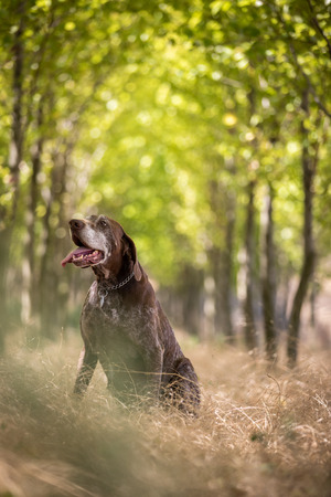 Hunting dog - Outdoor sports. Hunters dog in the woods Stock Photo