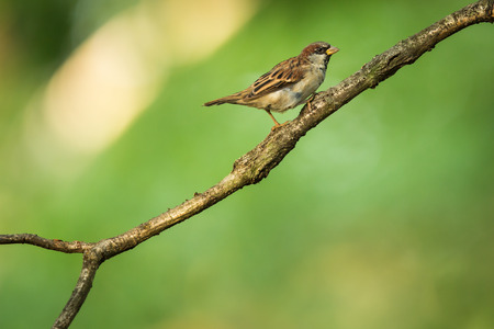 House Sparrow (Passer domesticus) on a branch against lush green leafy background
