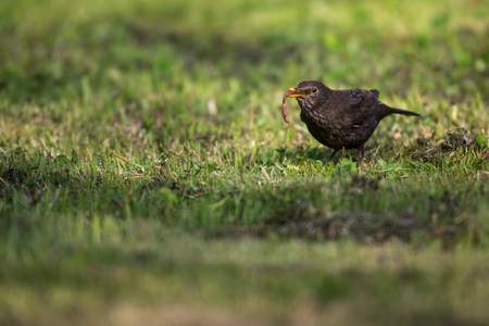 Female Common Blackbird (Turdus merula) eating a worm Stock Photo - 112768871