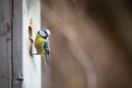 Blue tit Parus caeruleus on a bird house it inhabits - feeding the young. Shallow depth of field and background blurred Stock Photo