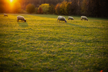 Sheep grazing on lush green pastures in warm evening light 스톡 콘텐츠