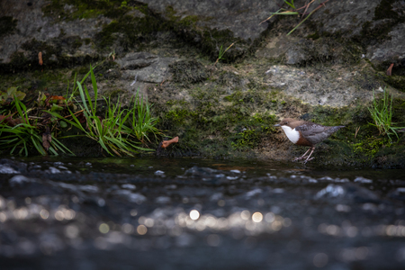 White-throated dipper (Cinclus cinclus) sitting on a stone. Diving bird hunting in the water. spring moment from mountain.