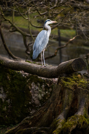 Grey Heron  - wildlife in its natural habitat