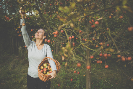 Middle aged woman picking apples in her orchard - soon there will be a lovely smell of apple pie in her kitchen (color toned image)