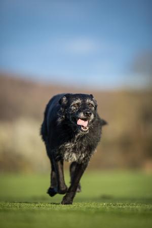 Portrait of a black dog running fast outdoor, shallow DOF, sharp focus