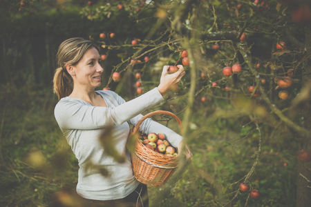 Middle aged woman picking apples in her orchard - soon there will be a lovely smell of apple pie in her kitchen (color toned image) Stock Photo