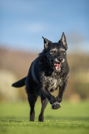 Portrait of a black dog running fast outdoor, shallow DOF, sharp focus Imagens - 115348685