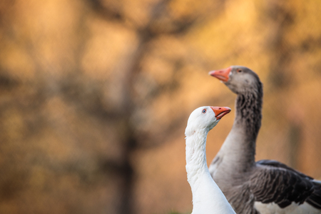 Two beautiful geese (anser anser domesticus) enjoying a morning walk on a farm. Domestic goose. Goose farm.
